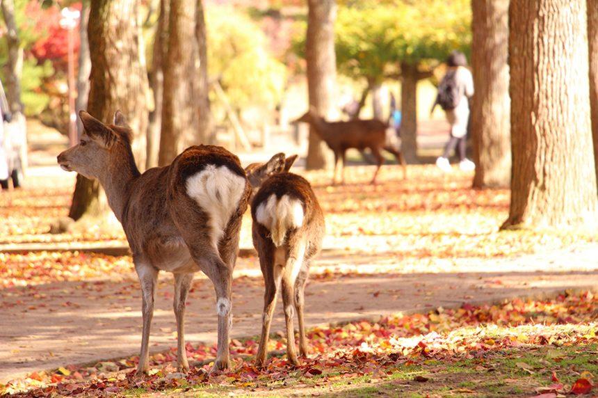 奈良公園の鹿の親子